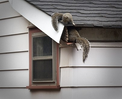 Squirrels Damaging Your Attic How To Deal With Them